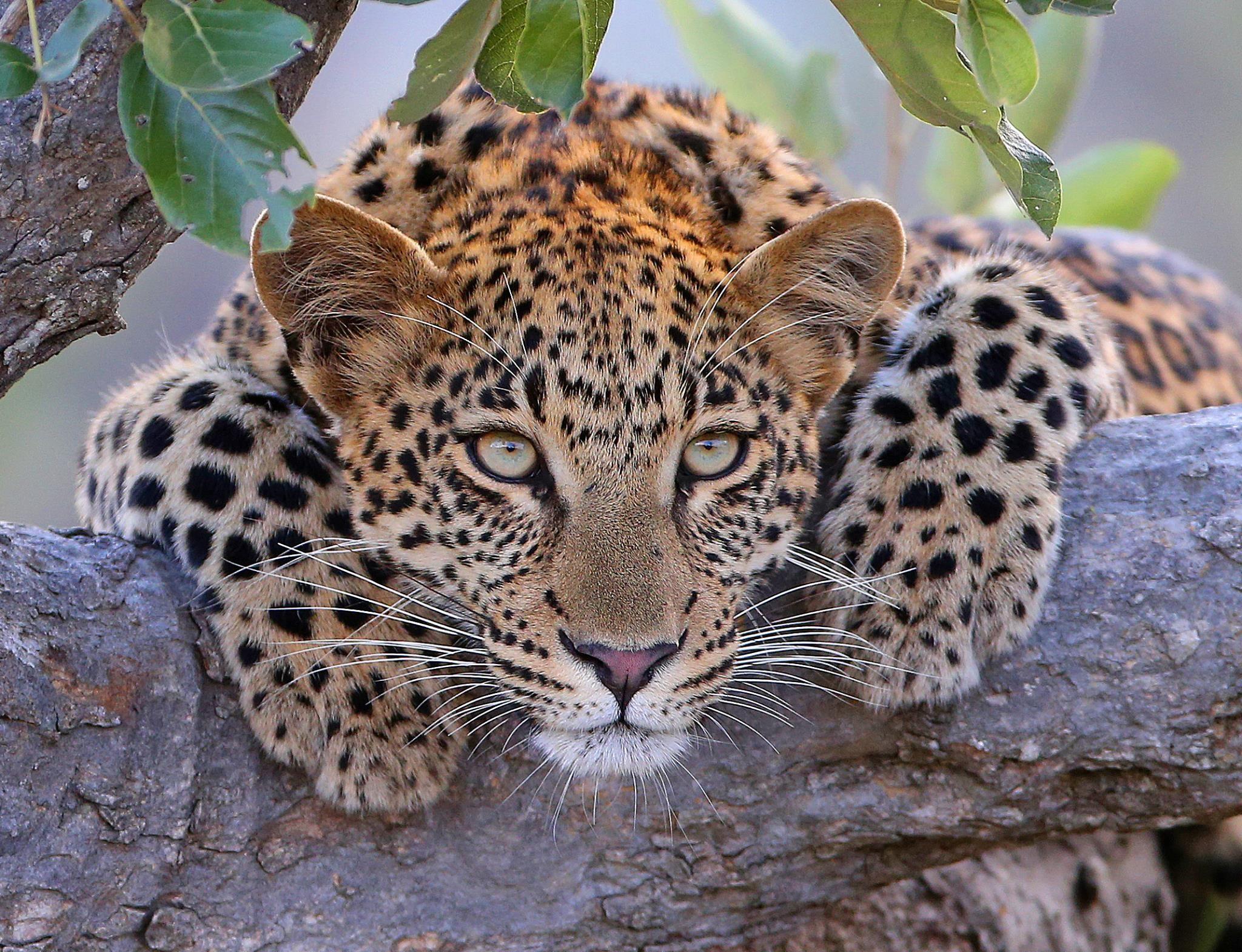 Beautiful leopard cub.