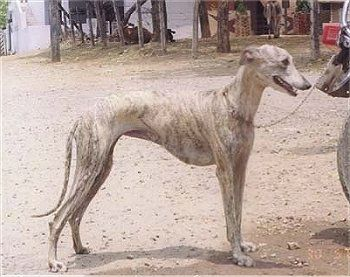 Right Profile A Tall Skinny High Arched White Brindle Rampur