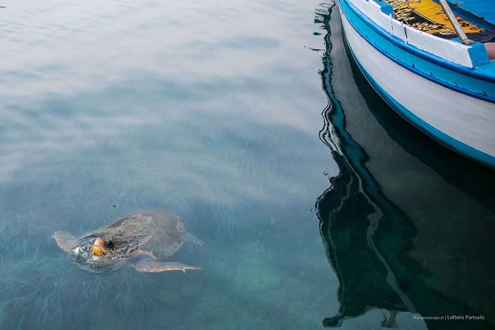Μια από τις θαλάσσιες χελώνες που έχουν βρει καταφύγιο στο λιμάνι του Καστελόριζου μόλις παίρνει μία ανάσα. Η καρέτα καρέτα είναι ένας πανάρχαιος κάτοικος των ελληνικών θαλασσών με πιθανότητα επιβίωσης 1 στις 1000 απειλείται καθημερινά. Προστατεύοντας τις παραλίες ωοτοκίας συμβάλλουμε στην επιβίωση του είδους. Μετά από 30 χρόνια θα γεννήσει στην ίδια παραλία που γεννήθηκε.