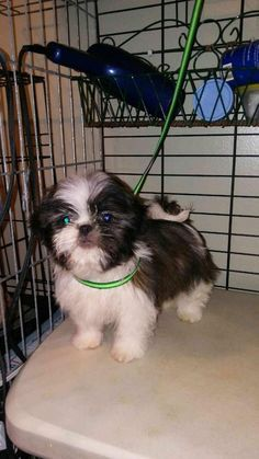 Adopt Stevie On Shih Tzu Dog Grooming Cute Animals