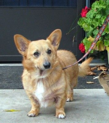 Meet Scooby Scooby Is A Wonderful Welsh Corgi Mix Who Is Looking For Love Scooby Is The Sweetest Boy Who Gets Along Wi Corgi Dog Welsh Corgi Mix Dog Adoption