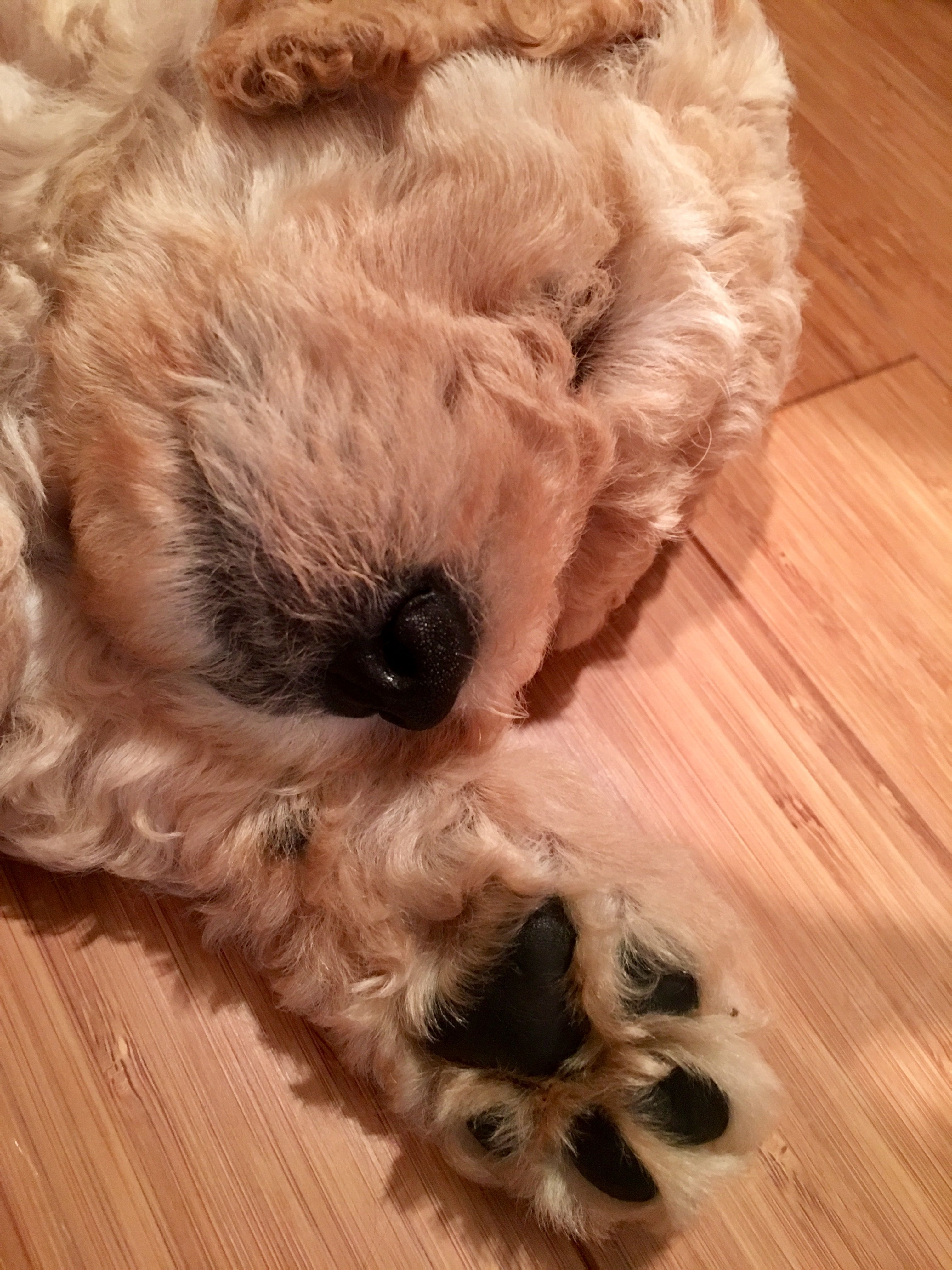 Pin by Malorie Brinkman on Penny the standard poodle