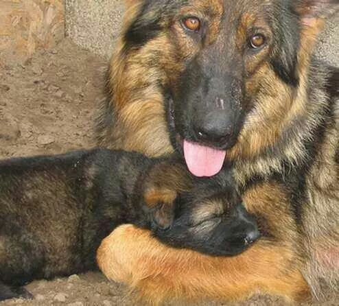 German Shepherd Mom Pup Cuddling German Shepherd Dogs