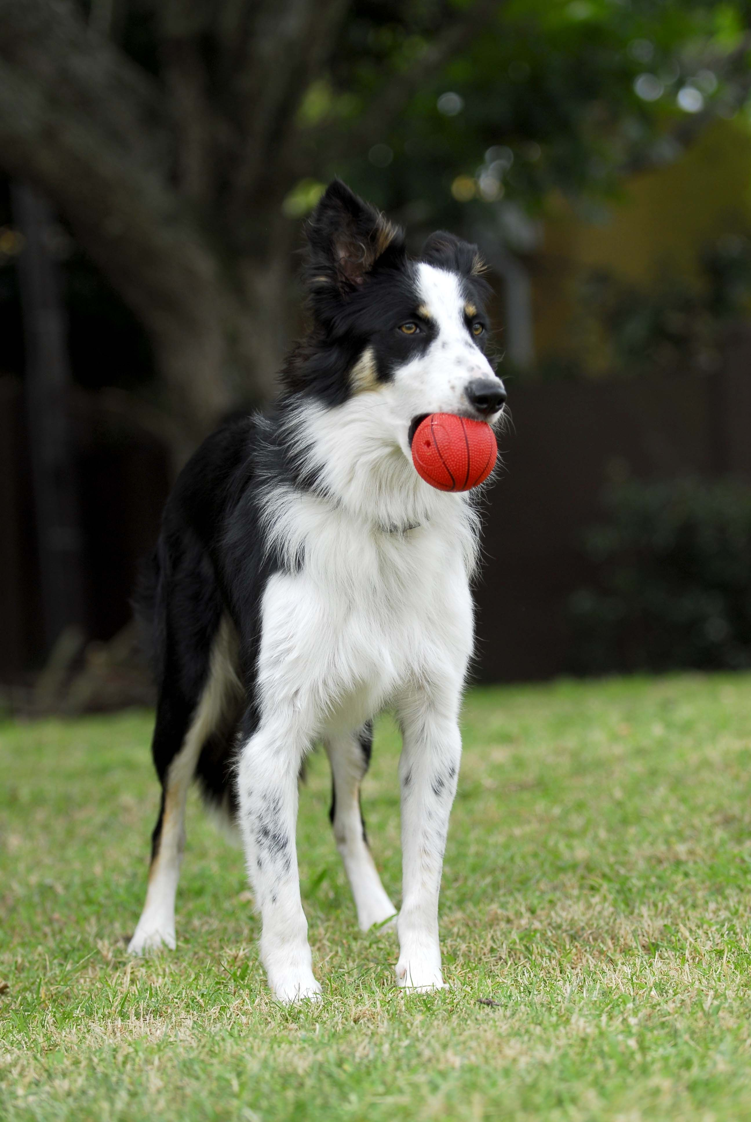 Khei Border Collie Loves The Ball With Images Border Collie Cute Animals Puppy Love