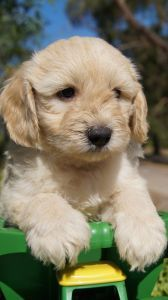 Mini Groodle Puppies For Sale Mini Puppies Puppies Puppies For