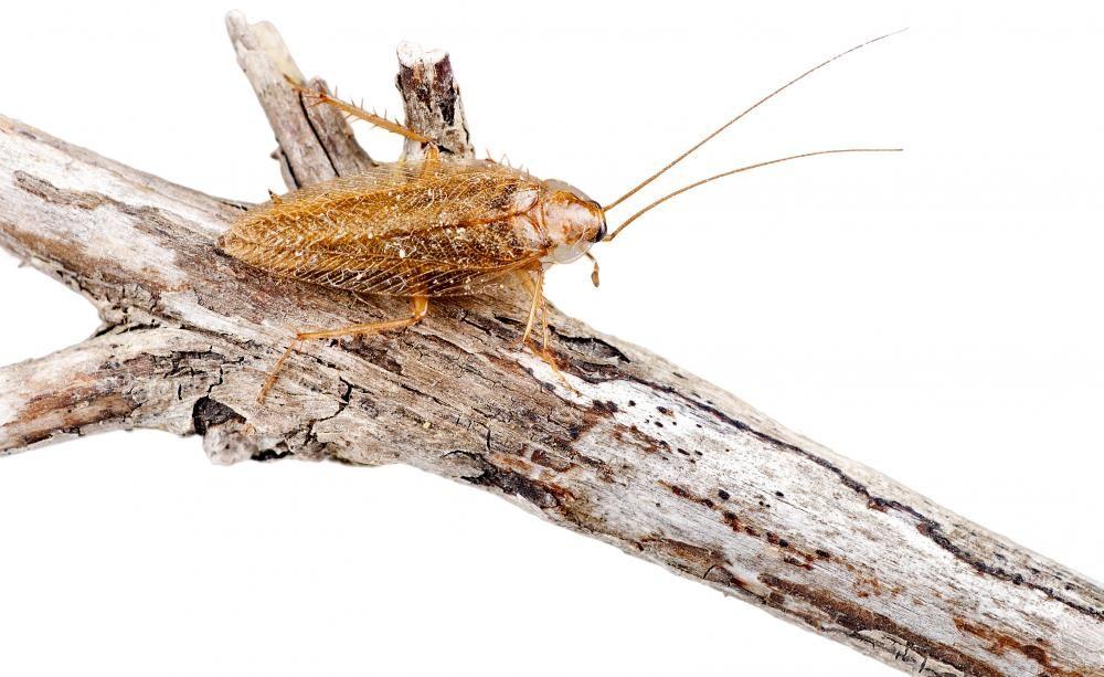 Kakerlaken Alarm Diese Art Ist Harmlos Kakerlaken Insektenhotel Schadlinge
