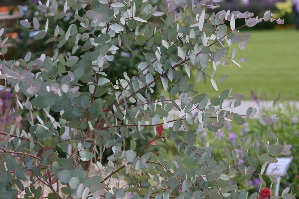 eukalyptus therisches duftgeh lz winterharte pflanzen eucalyptus pflanze und pflanzen