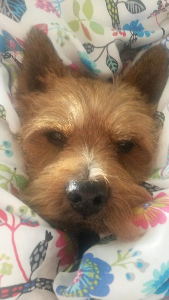 Snuggle Norwich Terrier Pup Terrier