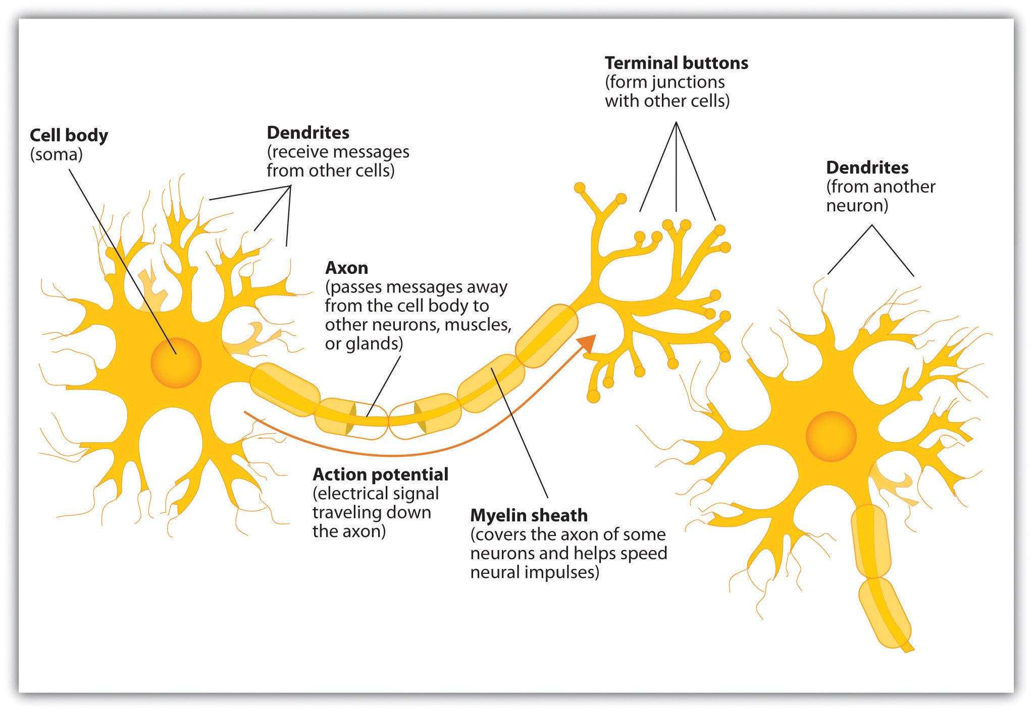 hight resolution of the neuron is the building block of the nervous system this image was chosen because it is very detailed and clear all of the parts of the neuron are