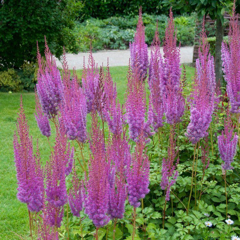Purpurkerze Astilbe Shade Perennials Plants Astilbe