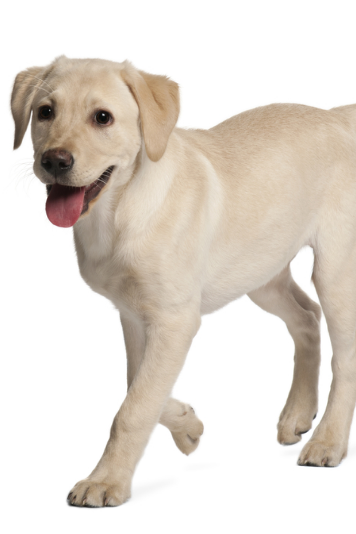 Young Labrador Retriever 4 Months Old Labradorretriever Golden Retriever Labrador Labrador Retriever Yellow Lab Puppy