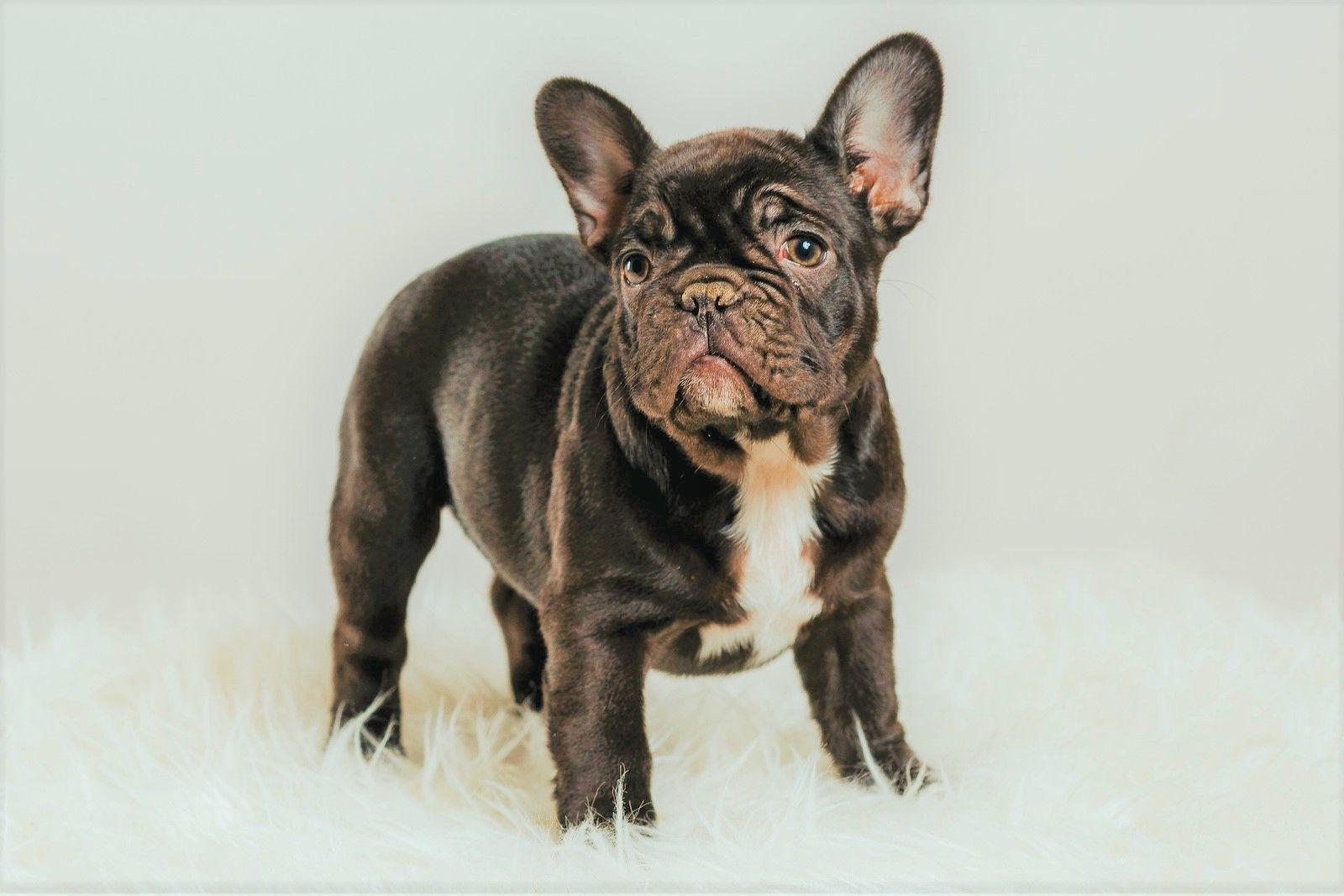 Black Frenchie boy. French bulldog puppies, French