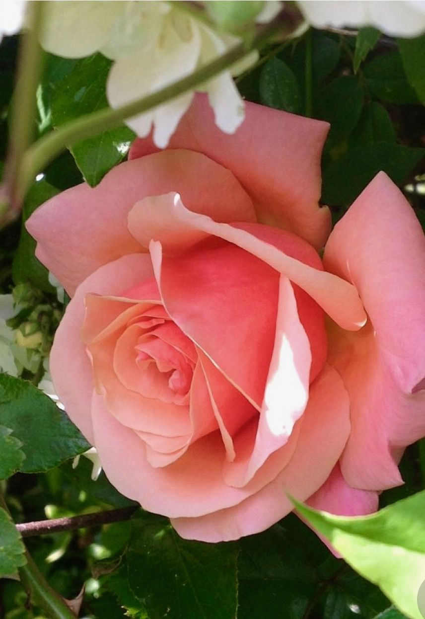 Gorgeous Pink Roses Rozes Pinterest Pink Roses Rose And Flowers