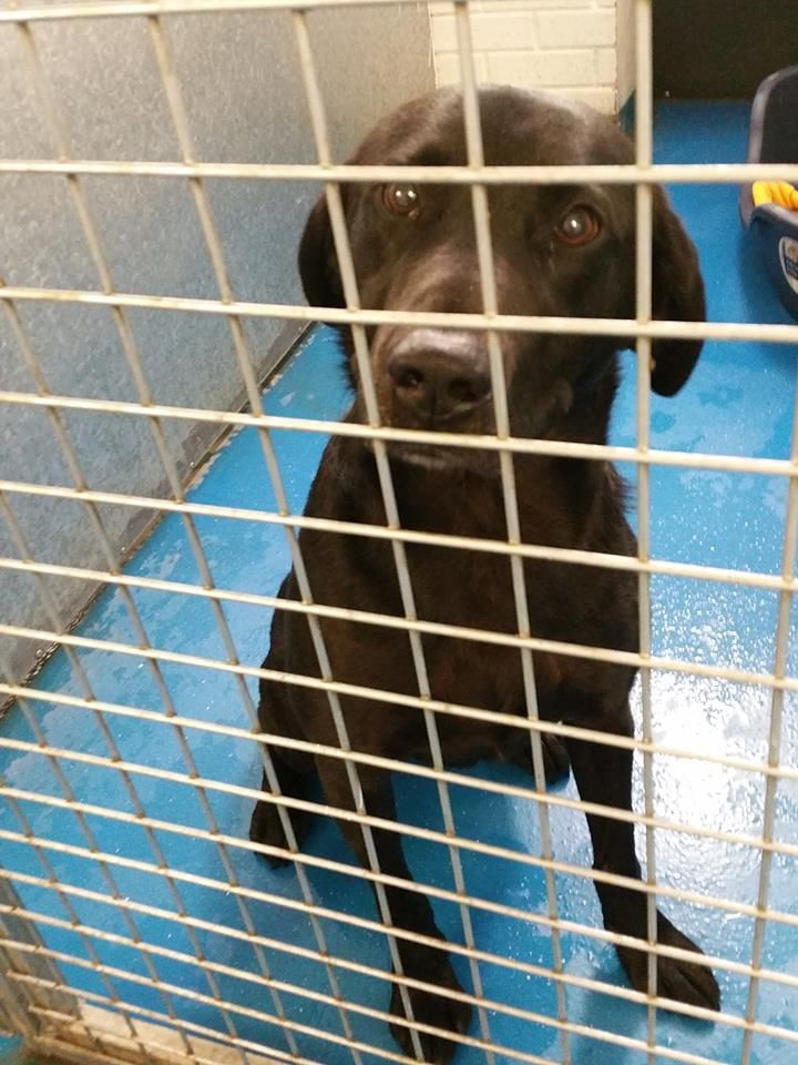 Does Anyone Recognise This Adorable Male Labrador He Was Found In