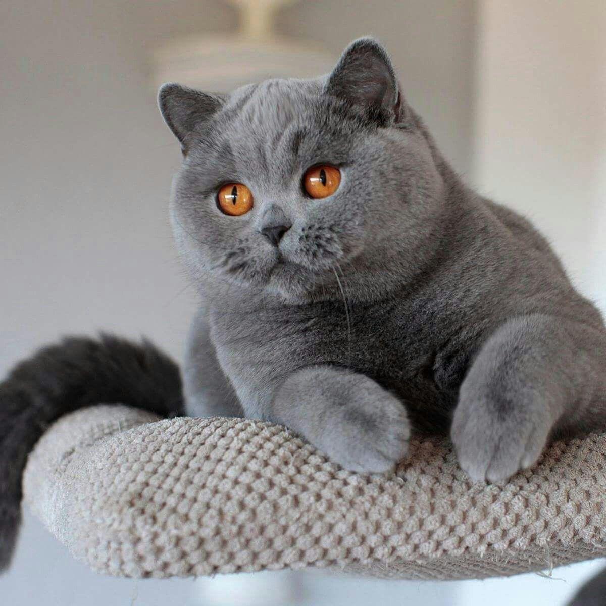 British Shorthair Cats and kittens, British shorthair