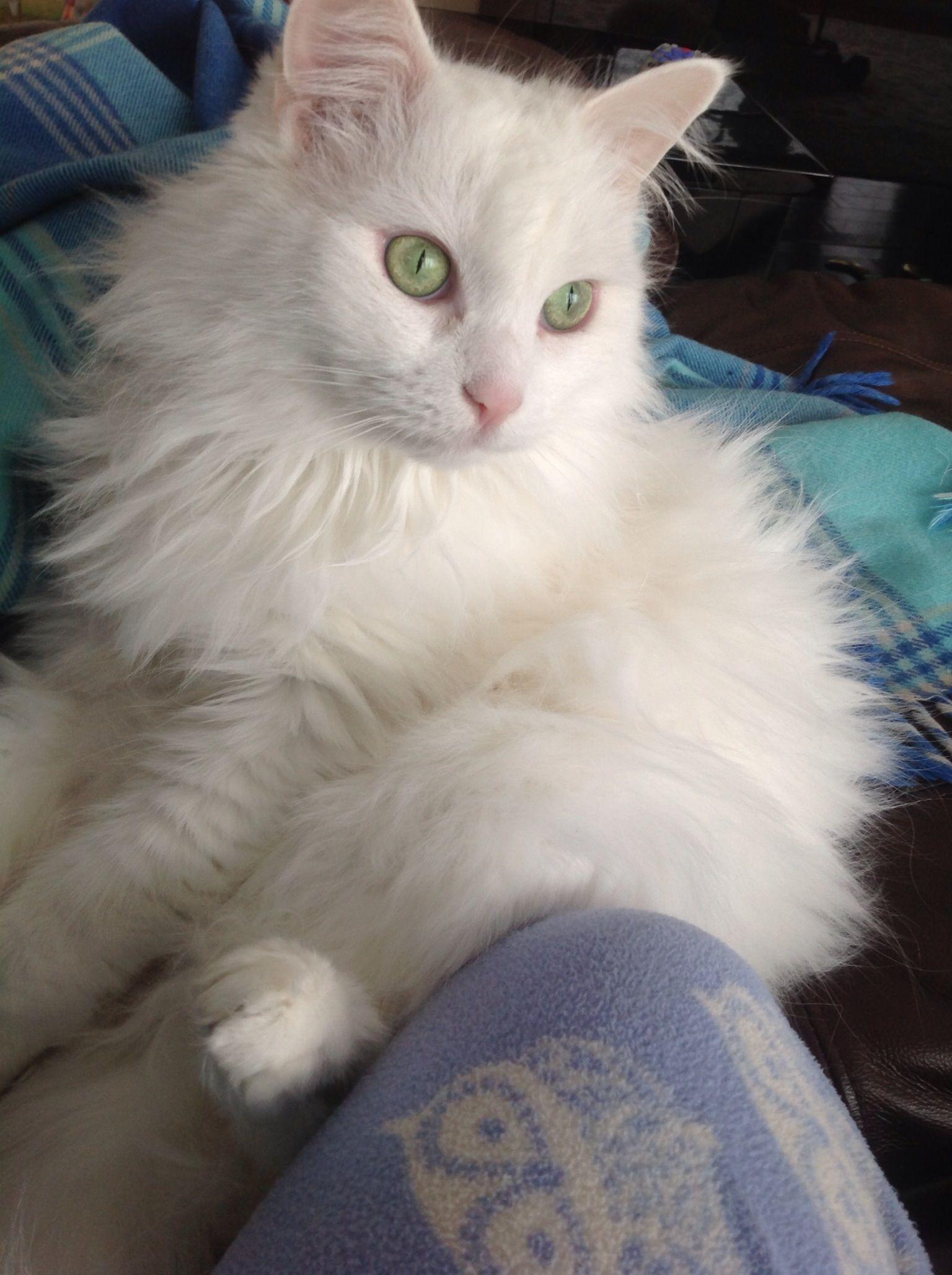 Turkish Angora Cat Beautiful My Cat Angel Angora Cats