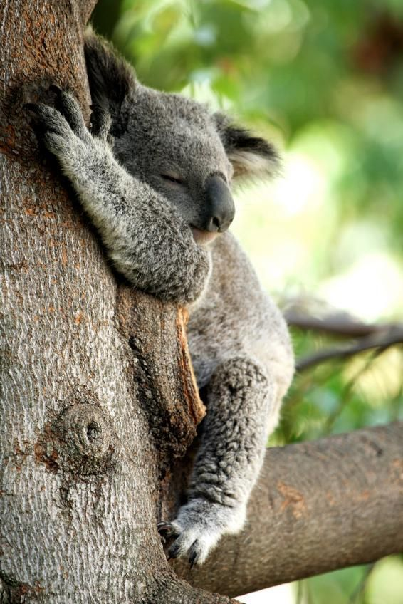 9b8964038f98 Tree-Hugging Koalas Uncover the Secret to Staying Cool