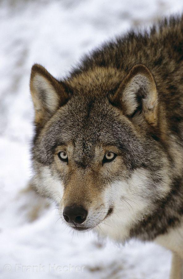 Wolf Im Winter Im Schnee Portrait Canis Lupus Gray Wolf Wolf Schnee Kurzgeschichten