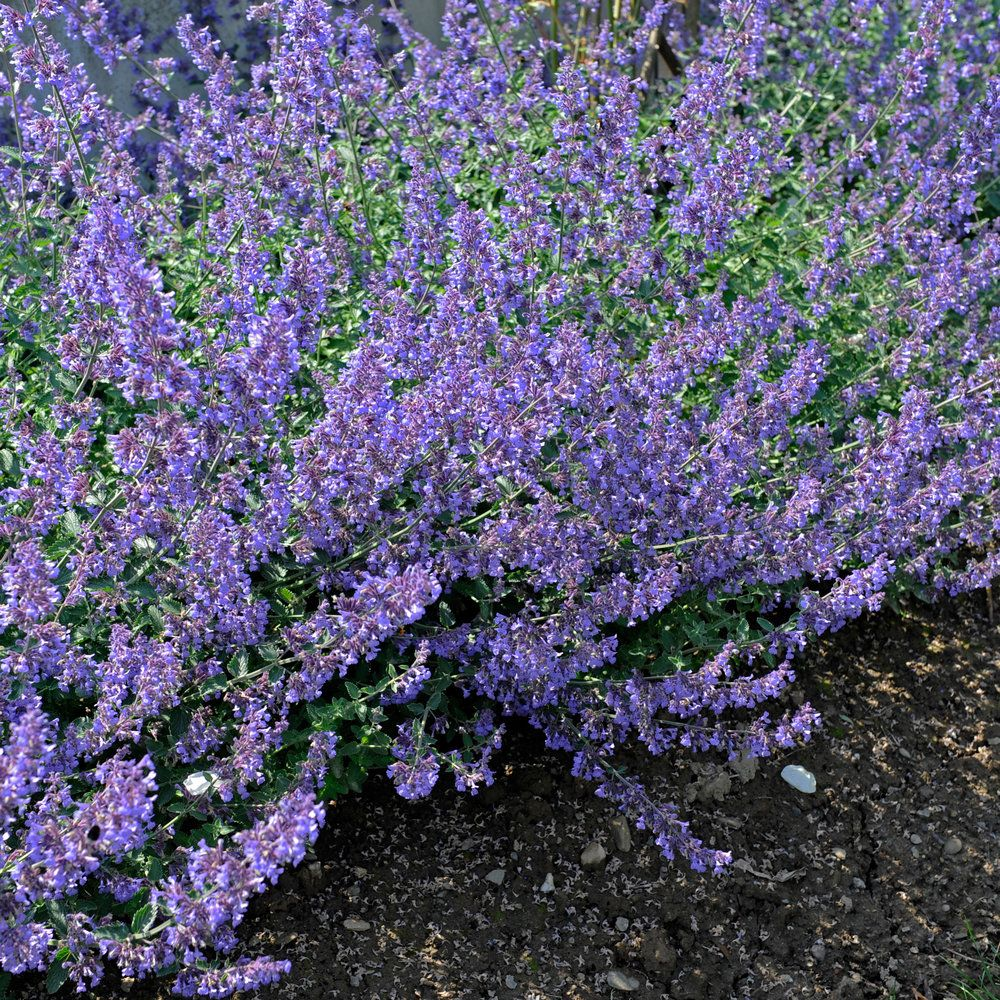 Catmint Easy Care and Color With This Perennial Flower