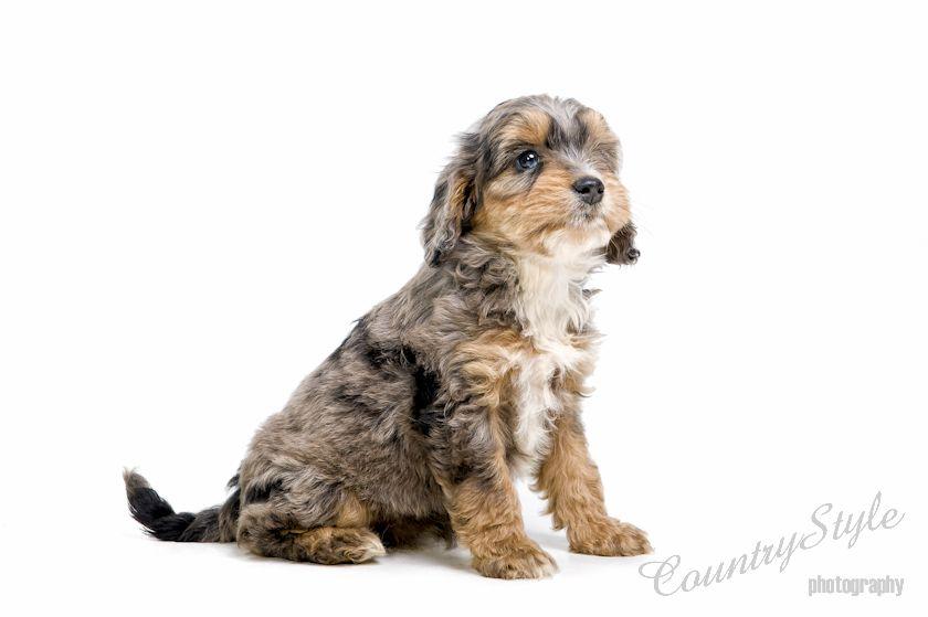 Sproodles Springer Spaniels X Miniature Poodles Dog