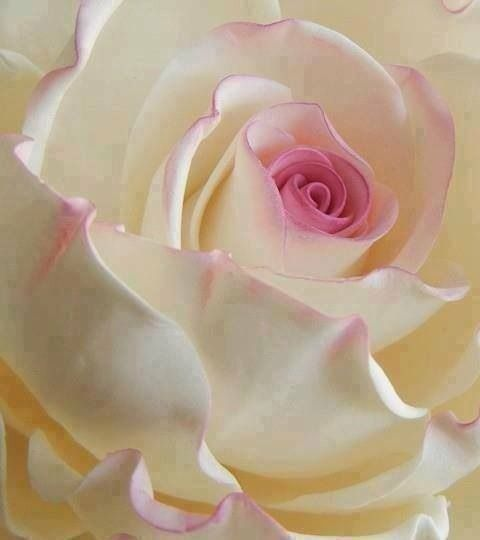I Love White Roses And This Touch Of Pink Is Just So Dainty And