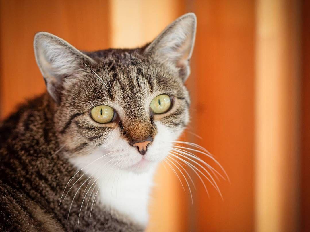 Seit ziemlich genau zwei Jahren bei uns: unsere Lieblingskatze Luna. #catcontent #catsofinstagram #katzenleben #petsofig #FB