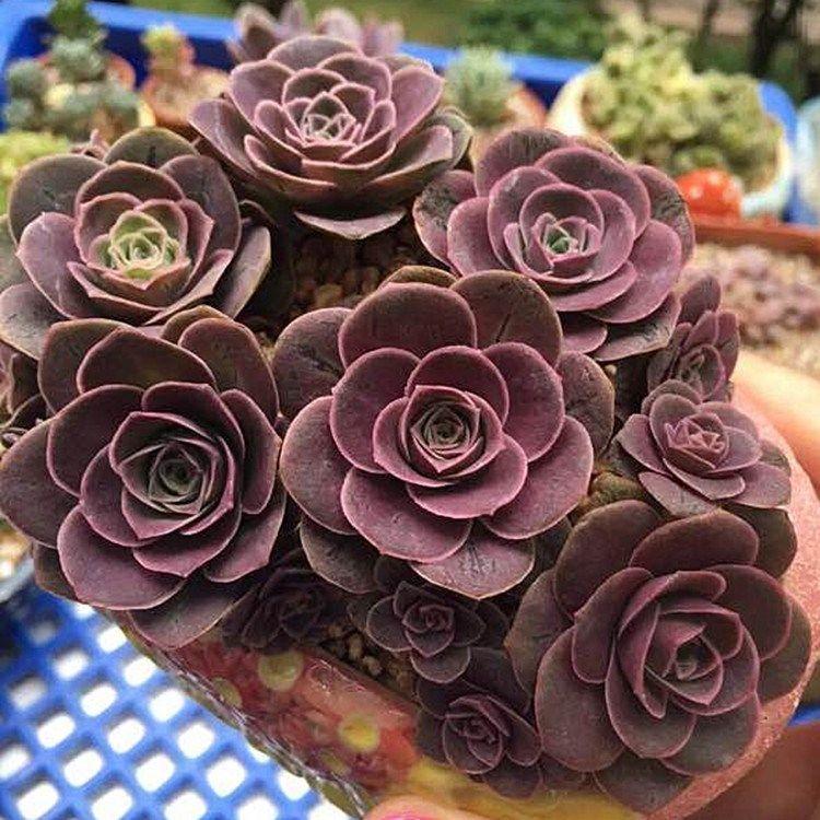 цветок роза горная фото