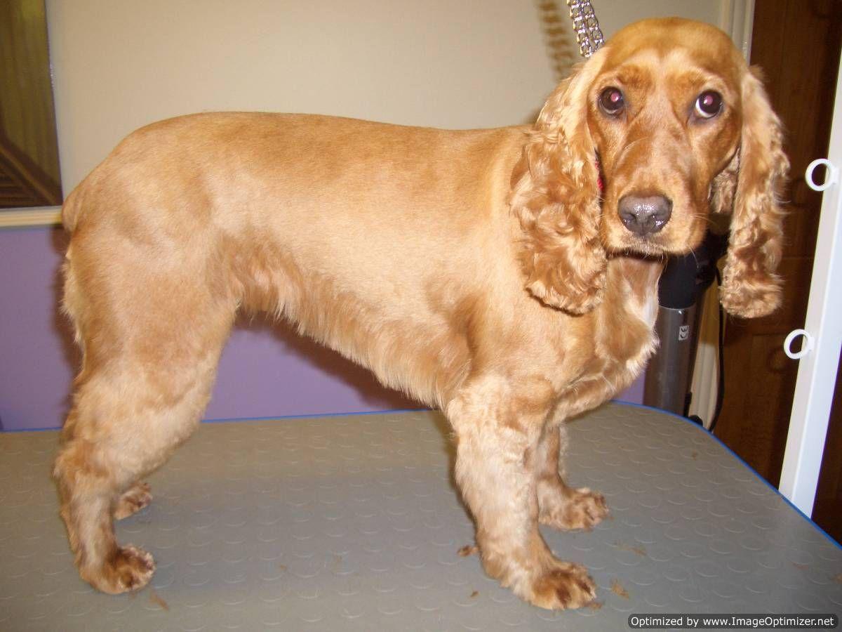 Cocker spaniel after zoomer pinterest weiner dogs doggies animal solutioingenieria Images