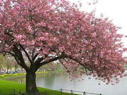Image Result For Cherry Blossom Australia Japanese Cherry Tree Cherry Blossom Tree Cherry Blossom Wallpaper