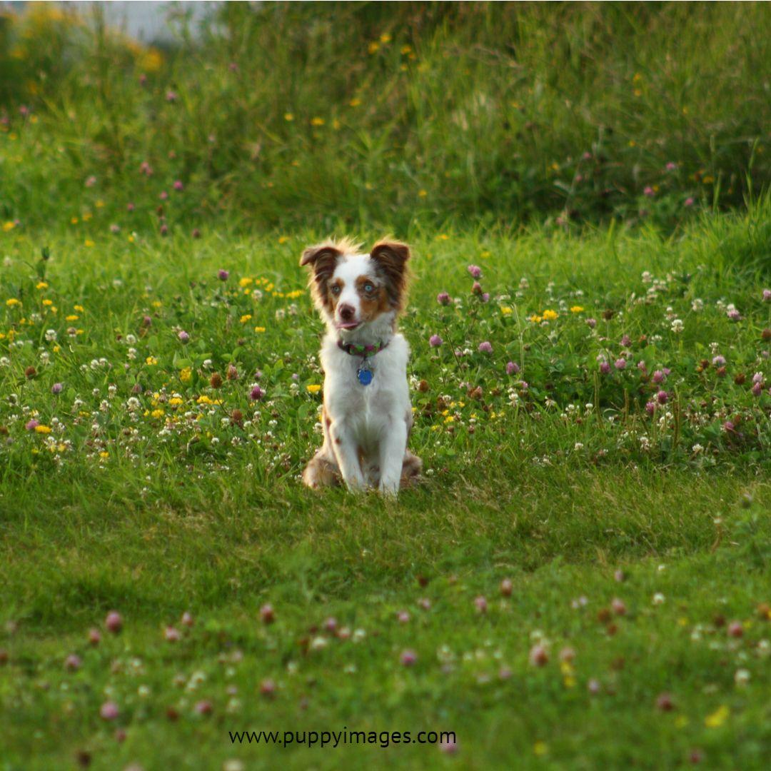 Australian Shepherd Puppy In Grass Australian Shepherd Puppy