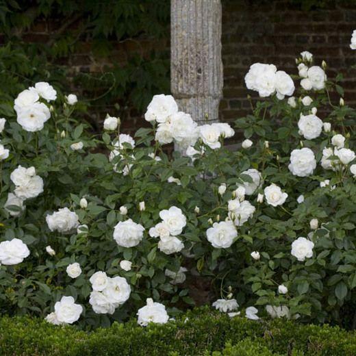 rose 39 iceberg 39 landscape pinterest plants gardens. Black Bedroom Furniture Sets. Home Design Ideas