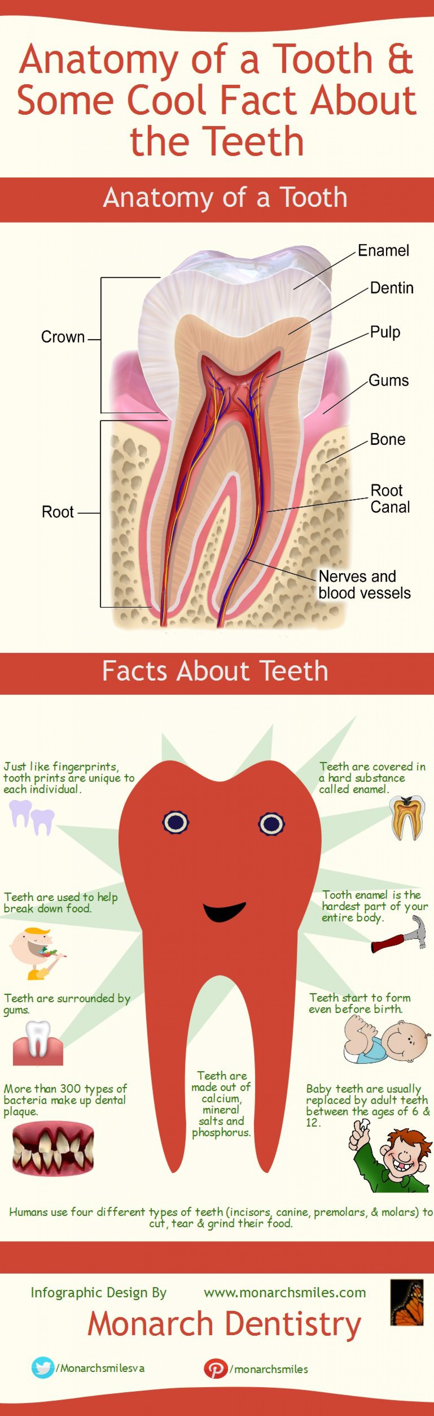 Anatomy Of A Tooth Some Cool Fact About The Teeth Infographic