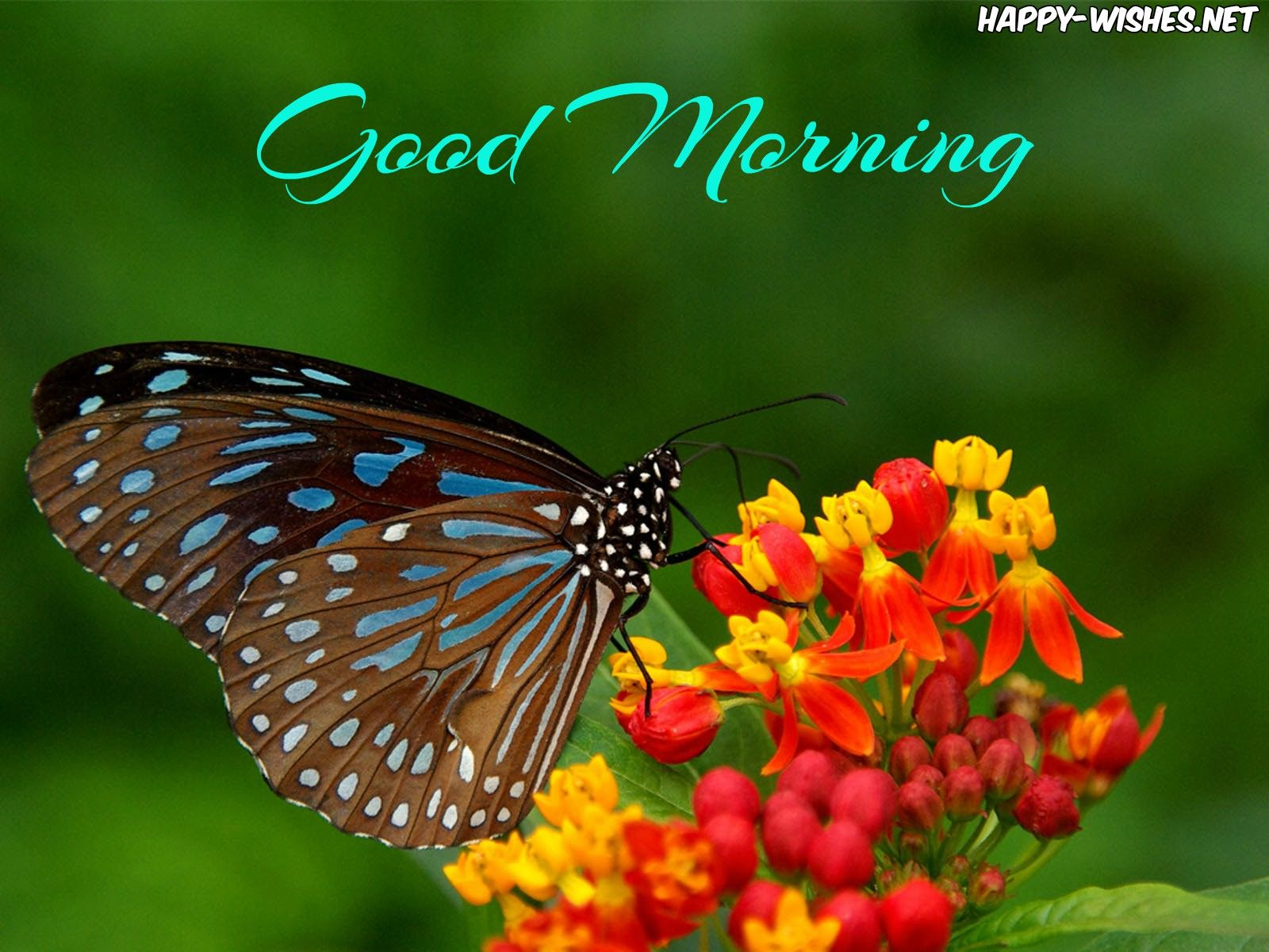 30 Good Morning With Butterfly Images And Quotes Good Morning Beautiful Good Night Wallpaper Good Morning Picture