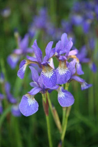 Iris Tropic Night Siberian Iris Syn Iris Sibirica Tropic Night Iris Trees To Plant Cottage Garden Plants