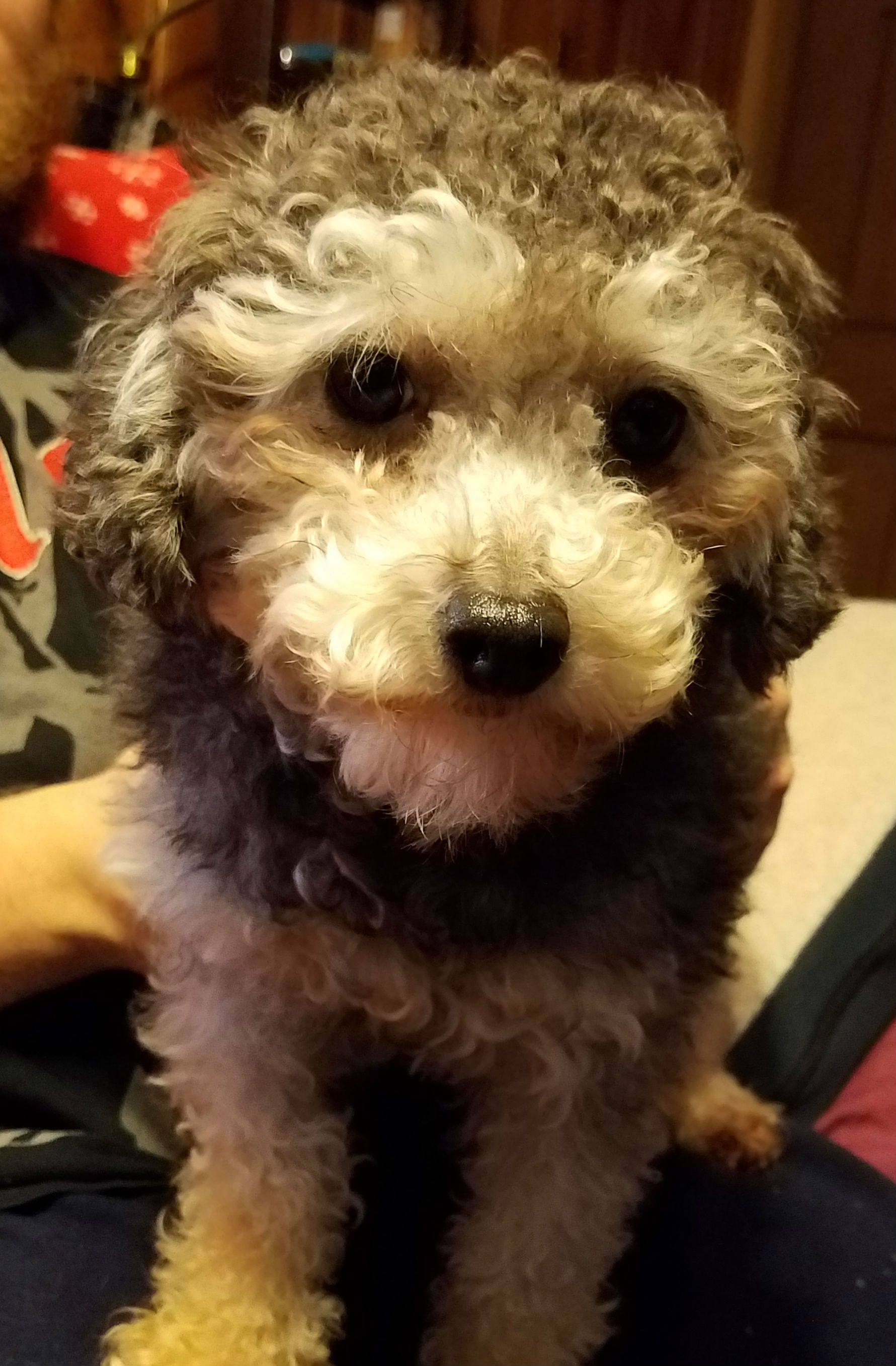Poodle (Miniature) dog for Adoption in Akron, OH. ADN
