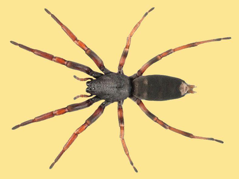 White Tailed Spider Te Papa White Tailed Spider White Tail Spider