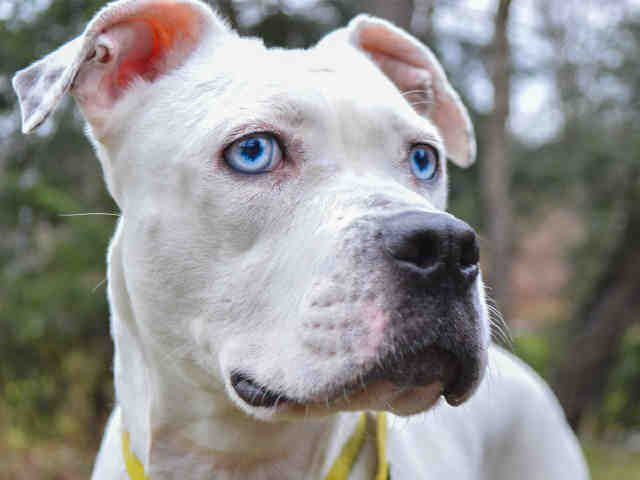 Bullboxer Pit Dog For Adoption In Pittsburgh Pa Adn 448722 On