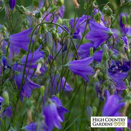 Bluebell Bellflower Campanula High Country Gardens Blue Bell Flowers Campanula Flowers
