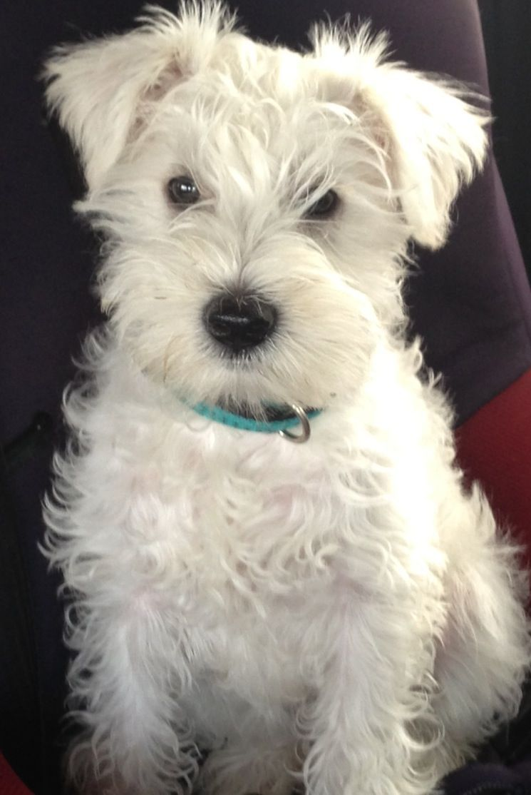 So This Is A Schnoodle And It S A Schnauzer And Poodle Mix And I
