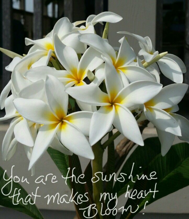 Sunshine Plumeria Flowers Quote The Shell Lady Plumeria Flowers Funeral Flowers Plumeria