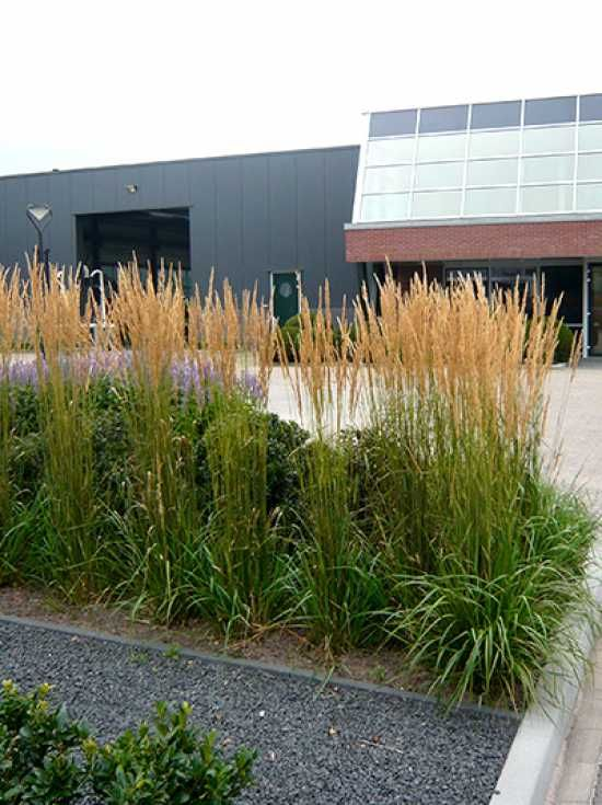 Calamagrostis acutiflora 39 karl f rster 39 f rsters garten for Pflanzengestaltung garten