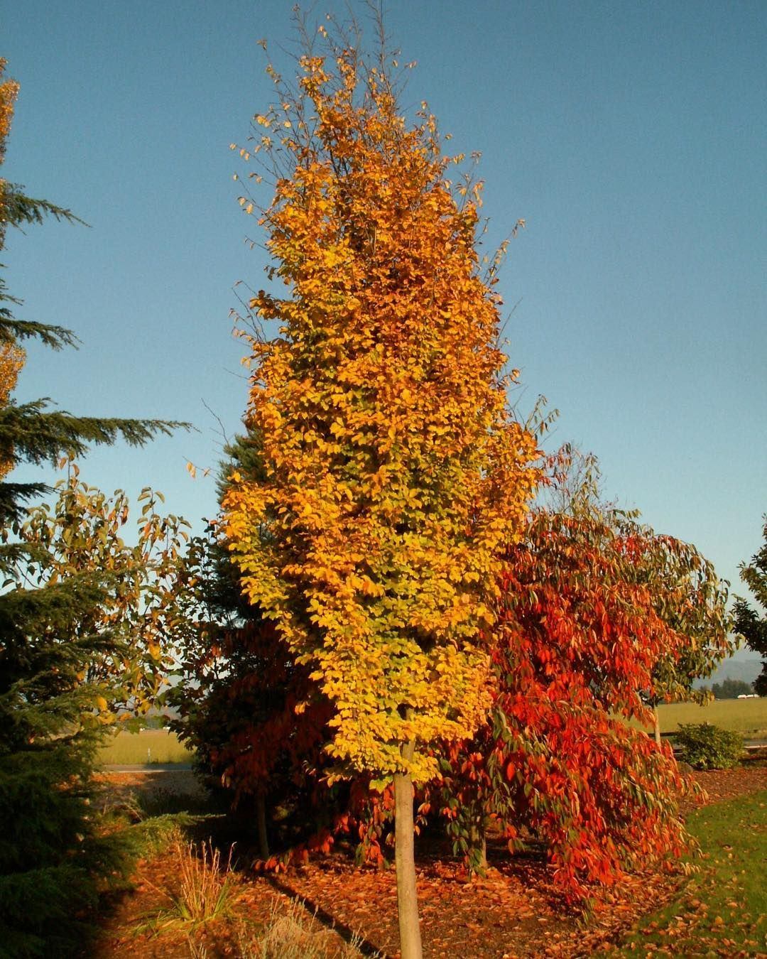 Do You Love Tall Trees And Fall Color But Have No Space For A Large Shade Tree This Parrotia Is The Tree For You Small Urban Garden Shade Trees Urban Garden
