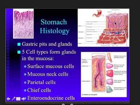 ▶ Stomach - Digestive System - Anatomy (Part 3) - YouTube