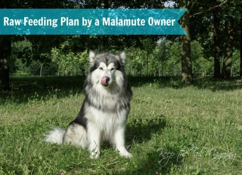 Raw Feeding Meal Plan By A Malamute Owner Dog Care Pets Malamute Dog Malamutes can be predatory with smaller pets. pinterest
