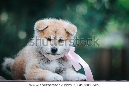 Stock Photo Akita Inu Cute Puppy Outside In Green Background