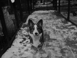 Adopt Clay On Cowboy Corgi Corgi Dog Pets