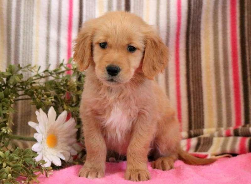 Golden Retriever Puppy For Sale In Mount Joy Pa Adn 71279 On