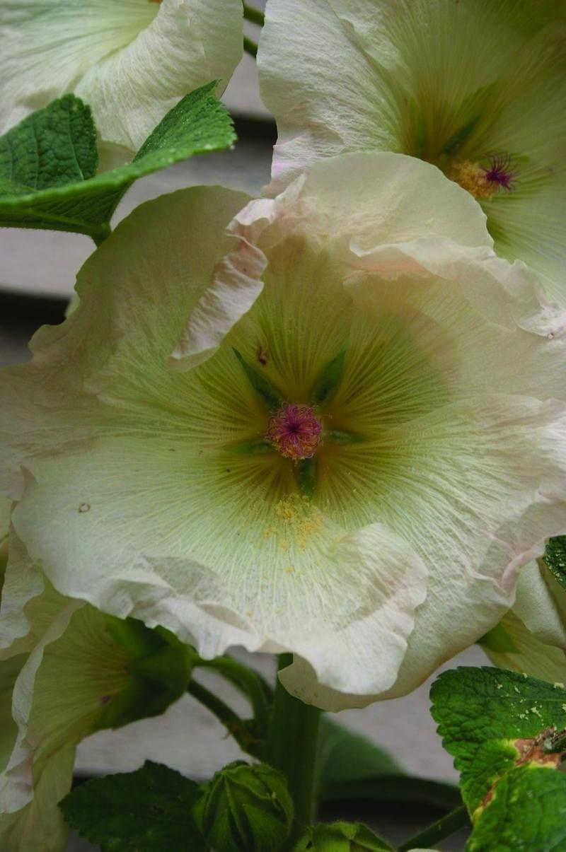 Antwerp hollyhock hydroponic gardening hydroponic