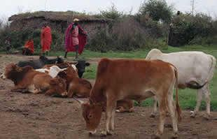 Masai wealth of cattle