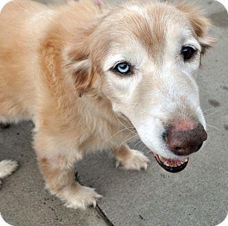 Fairfax Station Va Golden Retriever Mix Meet Malkolm A Dog For